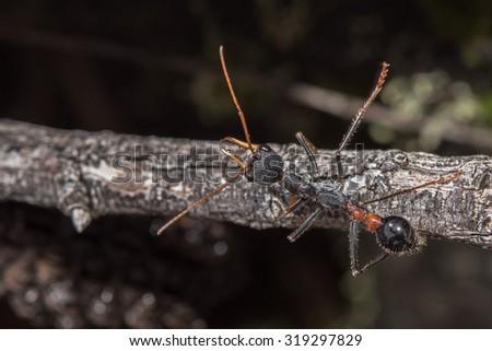 Giant Bulldog Ant Myrmecia brevinoda of Australia kills it's prey by stinging it's victims to death - stock photo