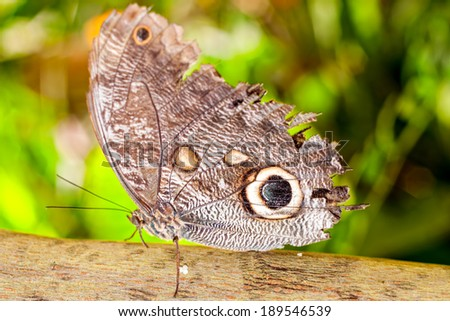 Giant Caligo Oileus Butterfly, The Owl Butterfly, Amazonian Rainforest, South America