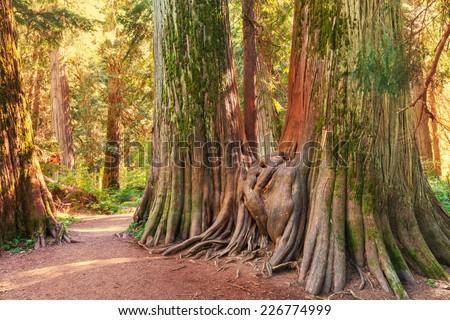 Giant cedar forest - stock photo