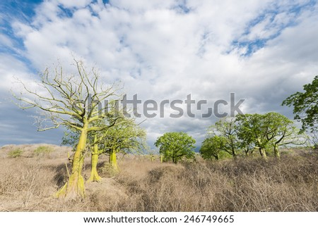 Giant ceiba trees grows up in sunny coast of Ecuador - stock photo