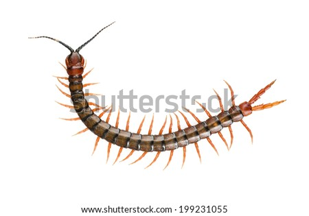 Giant centipede, Ethmostigmus rubripes, walking isolated on a white background