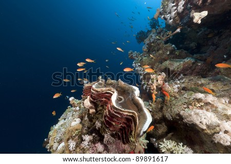 Giant clam in the Red Sea.
