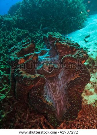 Giant Clam, Tridacna maxima, on Great Barrier Reef Australia - stock photo