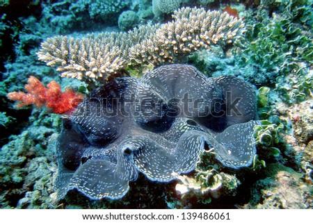 Giant Clam, Tridacna squamosa - stock photo