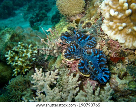 Giant clams (Tridacna sp.) are grown in the shallow, clear waters of Sipadan, Malaysia - stock photo