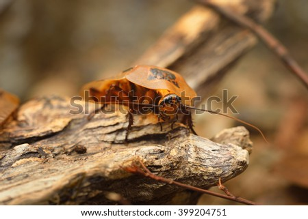 giant cockroach Blaberus giganteus in terrarium - stock photo