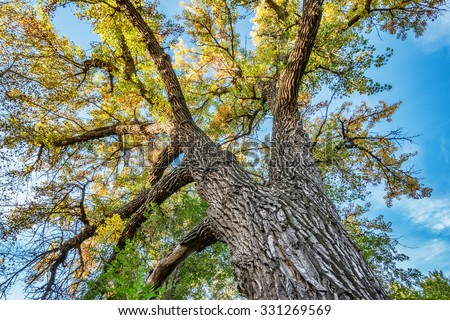 Giant cottonwood tree with fall foliage native to Colorado Plains, also the State tree of Wyoming, Nebraska, and Kansas - looking up - stock photo
