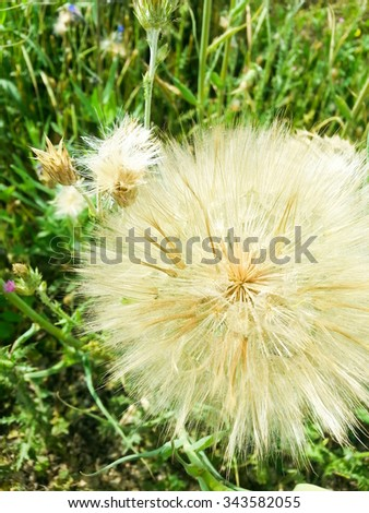 Giant dandelion close up in a green meadow - stock photo