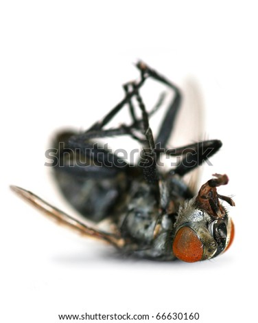 Giant Dead Fly Lying Isolated On A White Background - stock photo
