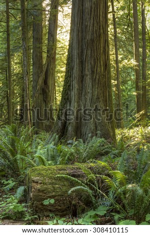 Giant Douglas Fir, red cedar trees and ferns bathed in sunlight in Cathedral Grove, MacMillan Provincial Park, Vancouver Island, BC - stock photo