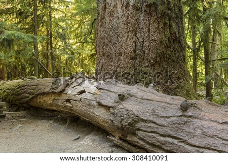 Giant Douglas Fir trees in Cathedral Grove, MacMillan Provincial Park, Vancouver Island, BC - stock photo