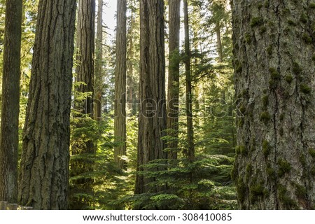 Giant Douglas Fir trees reach straight up to the sun in Cathedral Grove, MacMillan Provincial Park, Vancouver Island, BC - stock photo