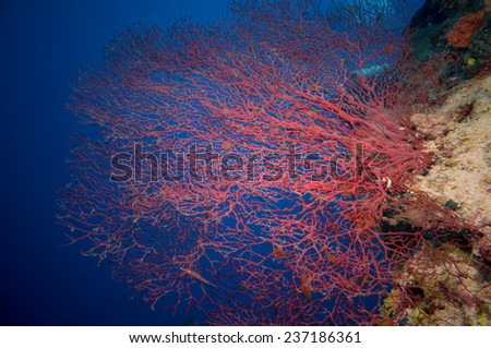 Giant fan (gorgonian) in the currenton Red Sea reef underwater - stock photo
