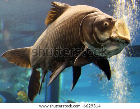 giant fish with open mouth - stock photo