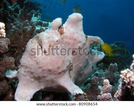 giant frog fish - stock photo
