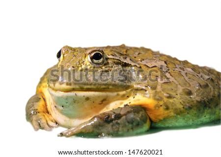 Giant Frog isolated on White - stock photo