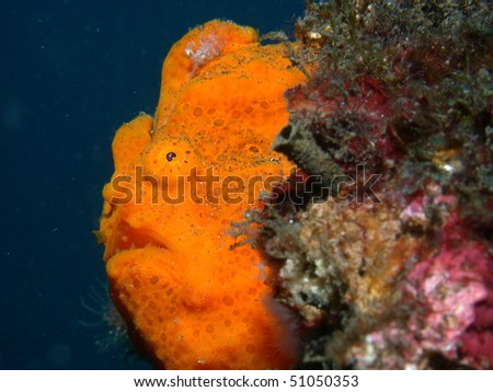 Giant frogfish. Lembeh, Indonesia - stock photo