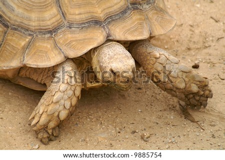 giant Galapagos tortoise - stock photo