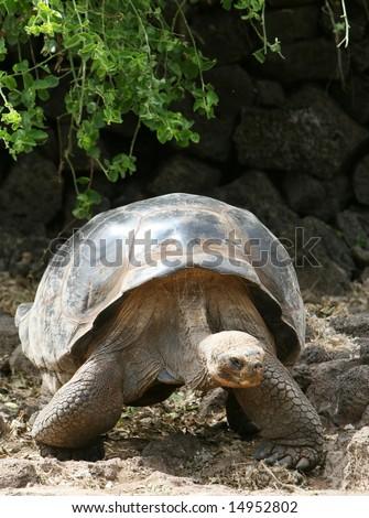 Giant Galapagos Tortoise on Santa Cruz Island - stock photo