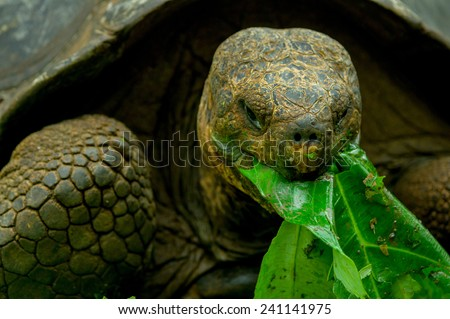 giant galapagos turtle eating leaves in floreana island ecuador closeup - stock photo