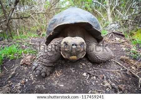 Giant Galapagos turtle, Galapagos Islands, Ecuador - stock photo