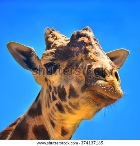 Giant Giraffe - stock photo