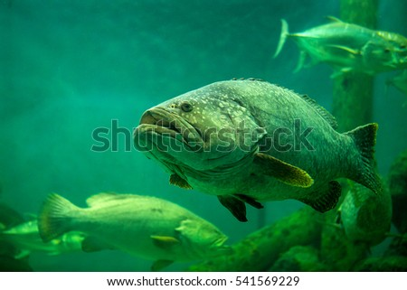 giant grouper in an aquarium