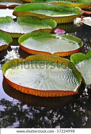 Giant Heart shaped Lily Pads with Beautiful Flowers forming a Path across lake at Sunset - stock photo