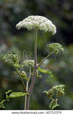 Giant Hogweed (Heracleum mantegazzianum) growing in a wild, non-native habitat. - stock photo