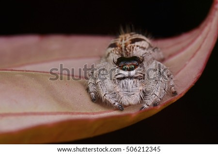 Giant Jumping Spider, Female