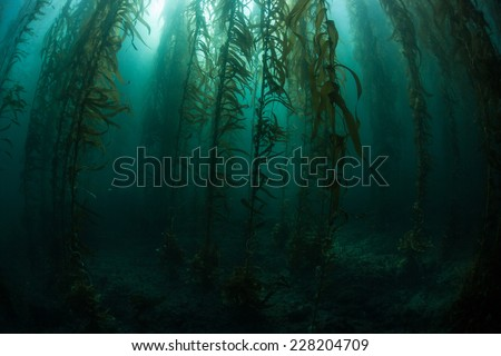 Giant kelp grows in an underwater forest just off the coast of California. Kelp provides an important habitat for many fish and invertebrates and can grow quickly in the right conditions. - stock photo