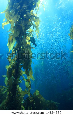 Giant kelp in blue water of aquarium - stock photo