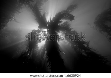 Giant Kelp (Macrocystis pyrifera) forest in Southern California - stock photo