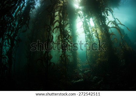 Giant kelp (Macrocystis pyrifera) grows in a thick forest off the coast of Monterey, California. Monterey's kelp forests support a wide diversity of life. - stock photo