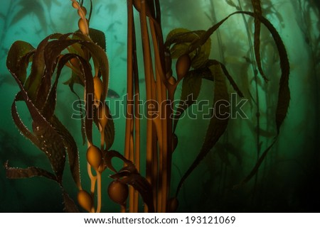 Giant kelp (Macrocystis pyrifera) grows in a thick kelp forest along the coast of Northern California. This temperate habitat is surprisingly diverse and home to hundreds of marine organisms. - stock photo