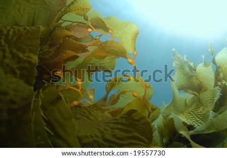 Giant Kelp (Macrocystis pyrifera) underwater with the sun on the surface casting light rays down. - stock photo