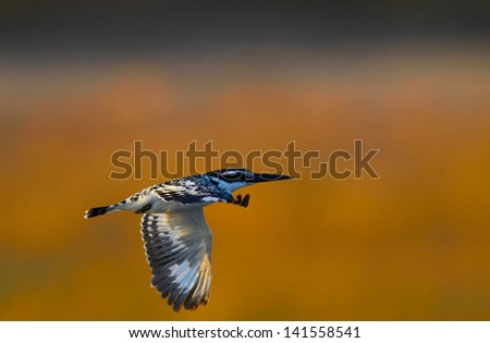 Giant Kingfisher in flight in the Chobe Area, Botswana - Shallow DOF, focus on front wing - stock photo