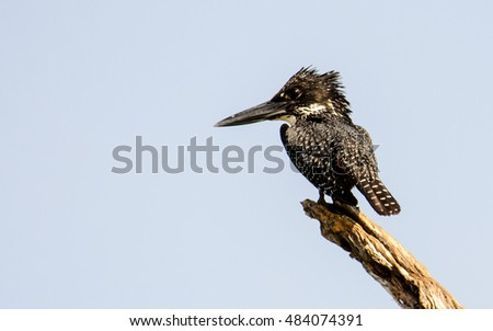 Giant Kingfisher on its perch