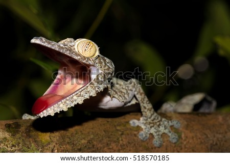 Giant leaf-tailed gecko, Uroplatus fimbriatus, Nosy Mangabe reserve, Madagascar. Angry gecko with opened mouth showing his red tongue as defense against the enemy. Endemic animal, Madagascar wildlife
