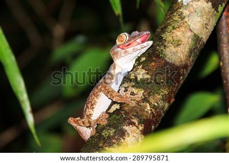 Giant Leaf-tailed Gecko (Uroplatus fimbriatus) on the island Nosy Mangabe in Masoala National Park, Madagascar - stock photo