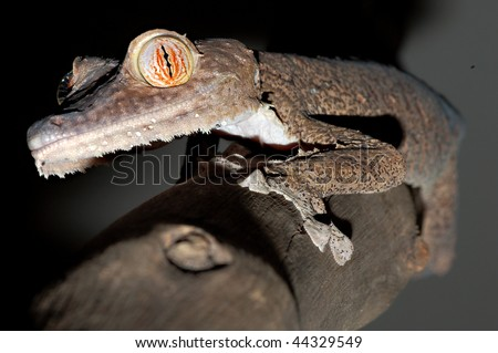 Giant Leaftail Gecko - stock photo