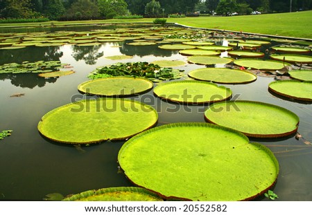 Giant leaves of Amazonian water lilies in Bogor, Indonesia - stock photo