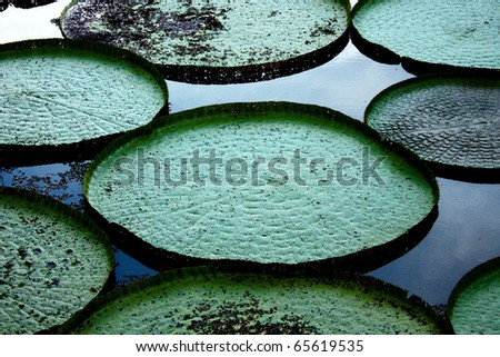 giant lily pads in the amazon - stock photo