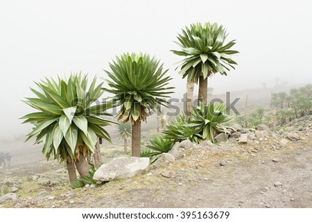 Giant lobelia near Chiro Leba village, Simien mountains, Ethiopia - stock photo