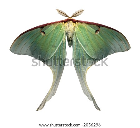 Giant Luna Moth is a rare sight due to its short lifespan - isolated on white - stock photo