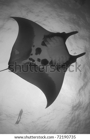 Giant Majestic Manta Ray Gliding through the Andaman Sea, Indian Ocean, Thailand, with a snorkeler in the background. Manta birostris - stock photo