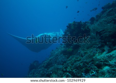 Giant Manta Ray over coral reef - stock photo