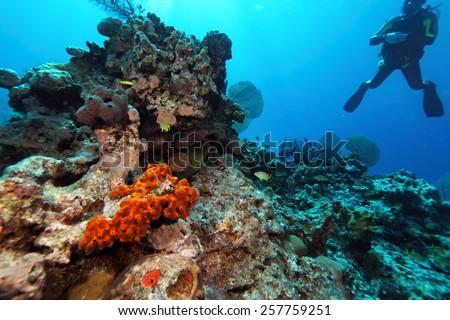 Giant Moray Eel and Scuba Diver, Caribbean Sea  - stock photo
