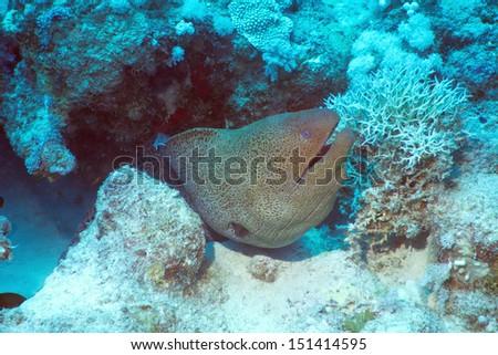 Giant Moray Eel (Gymnothorax javanicus) - stock photo