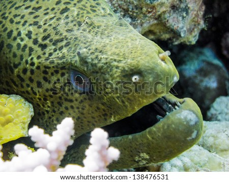 giant moray eel (gymnothorax javanicus) between coral in the red - stock photo